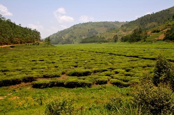 Tea farms in Rwanda
